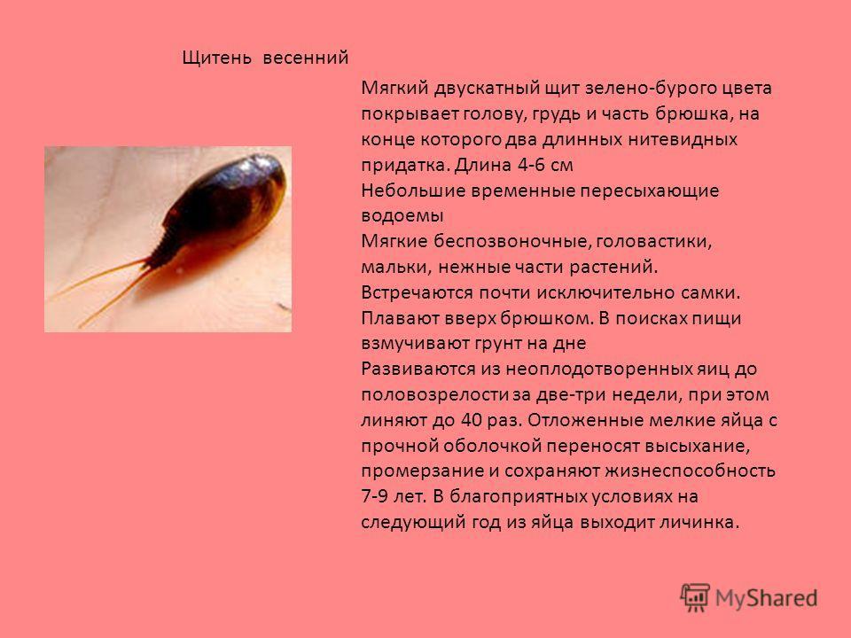 Мягкий двускатный щит зелено-бурого цвета покрывает голову, грудь и часть брюшка, на конце которого два длинных нитевидных придатка. Длина 4-6 см Небольшие временные пересыхающие водоемы Мягкие беспозвоночные, головастики, мальки, нежные части растен