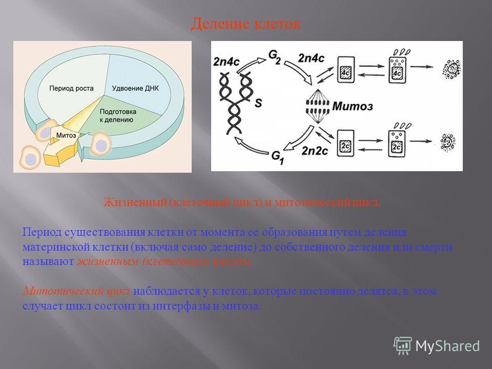 Деление клеток Жизненный ( клеточный цикл ) и митотический цикл. Период существования клетки от момента ее образования путем деления материнской клетки ( включая само деление ) до собственного деления или смерти называют жизненным ( клеточным ) цикло