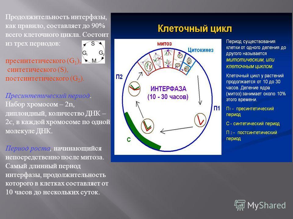 Продолжительность интерфазы, как правило, составляет до 90% всего клеточного цикла. Состоит из трех периодов : пресинтетического (G 1 ), синтетического (S), постсинтетического (G 2 ). Пресинтетический период. Набор хромосом – 2n, диплоидный, количест