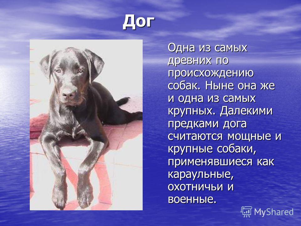 Дог Дог Одна из самых древних по происхождению собак. Ныне она же и одна из самых крупных. Далекими предками дога считаются мощные и крупные собаки, применявшиеся как караульные, охотничьи и военные.