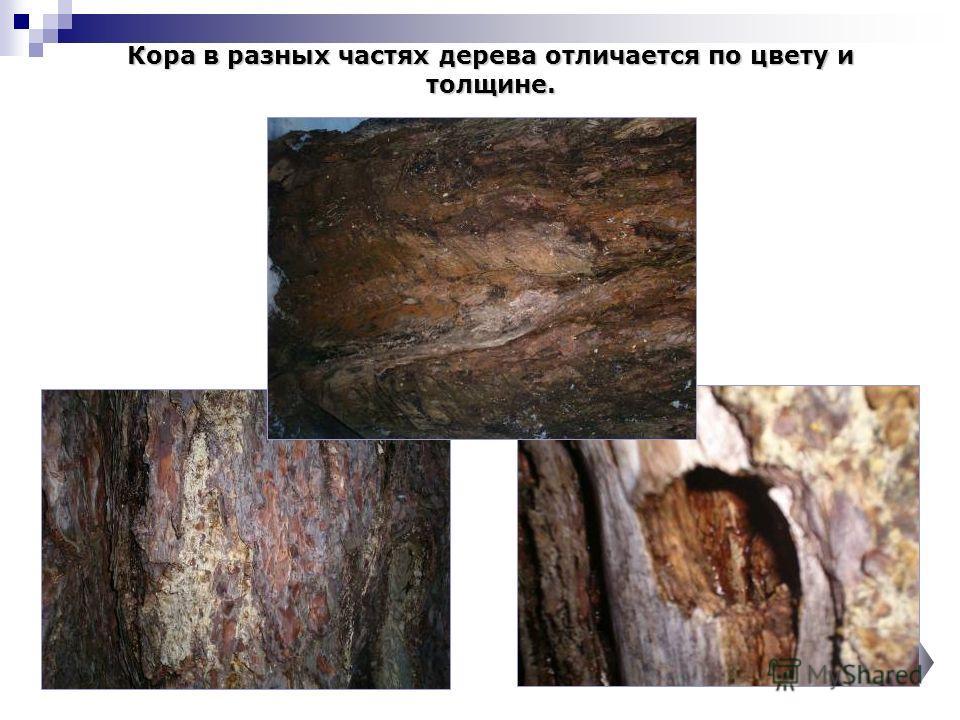 Кора в разных частях дерева отличается по цвету и толщине.