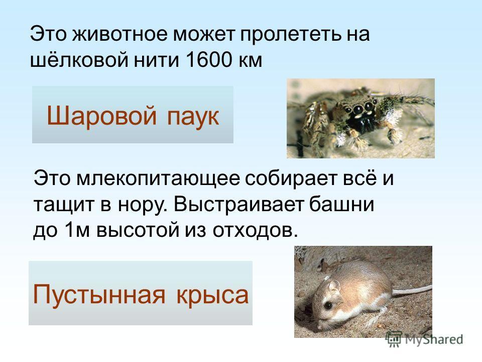 Шаровой паук Это млекопитающее собирает всё и тащит в нору. Выстраивает башни до 1м высотой из отходов. Это животное может пролететь на шёлковой нити 1600 км Пустынная крыса