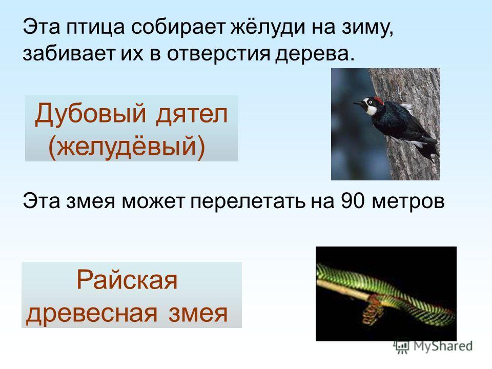 Эта птица собирает жёлуди на зиму, забивает их в отверстия дерева. Дубовый дятел (желудёвый) Эта змея может перелетать на 90 метров Райская древесная змея