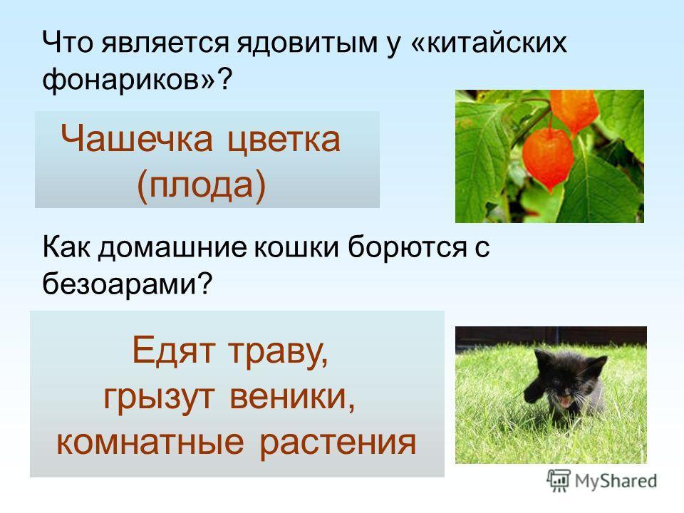 Что является ядовитым у «китайских фонариков»? Чашечка цветка (плода) Как домашние кошки борются с безоарами? Едят траву, грызут веники, комнатные растения