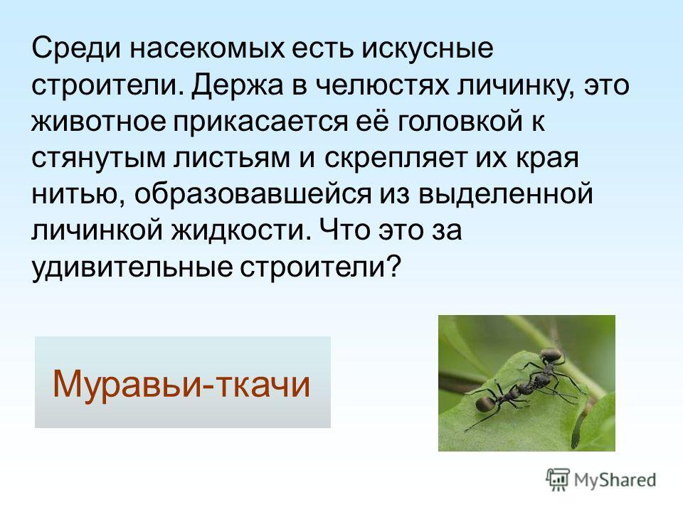 Среди насекомых есть искусные строители. Держа в челюстях личинку, это животное прикасается её головкой к стянутым листьям и скрепляет их края нитью, образовавшейся из выделенной личинкой жидкости. Что это за удивительные строители? Муравьи-ткачи