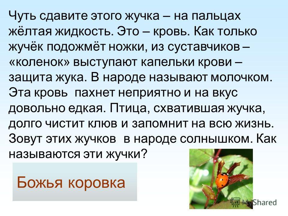Чуть сдавите этого жучка – на пальцах жёлтая жидкость. Это – кровь. Как только жучёк подожмёт ножки, из суставчиков – «коленок» выступают капельки крови – защита жука. В народе называют молочком. Эта кровь пахнет неприятно и на вкус довольно едкая. П