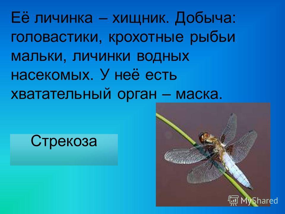 Её личинка – хищник. Добыча: головастики, крохотные рыбьи мальки, личинки водных насекомых. У неё есть хватательный орган – маска. Стрекоза