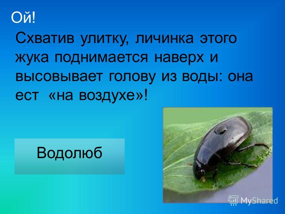 Схватив улитку, личинка этого жука поднимается наверх и высовывает голову из воды: она ест «на воздухе»! Водолюб Ой!