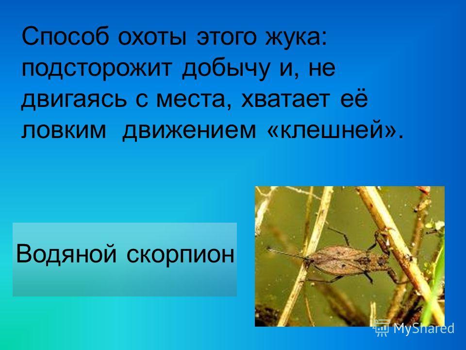 Способ охоты этого жука: подсторожит добычу и, не двигаясь с места, хватает её ловким движением «клешней». Водяной скорпион