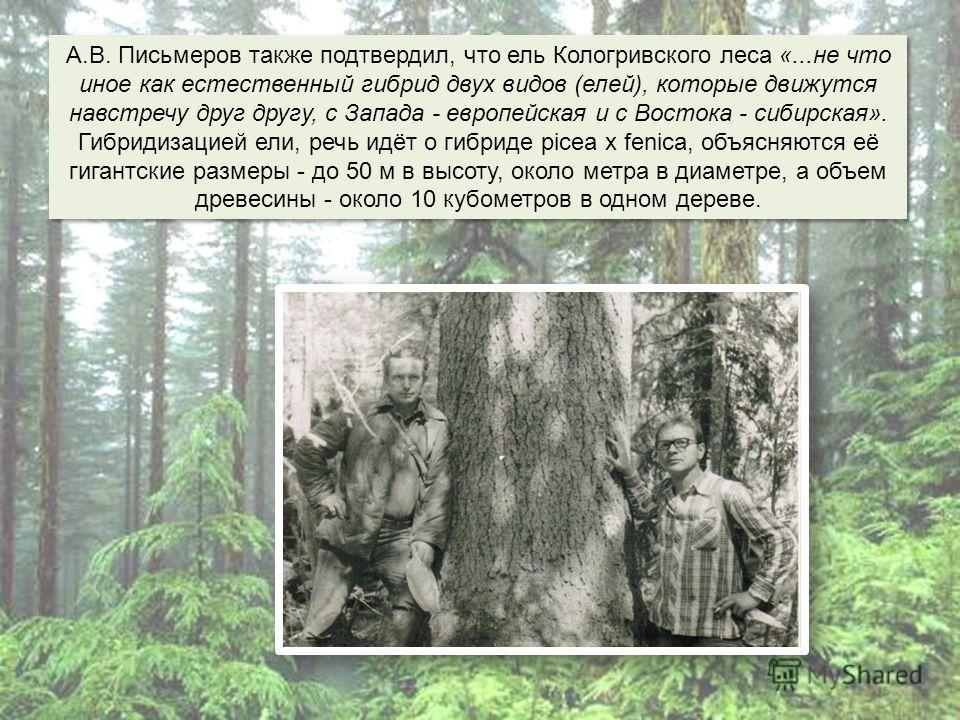 А.В. Письмеров также подтвердил, что ель Кологривского леса «...не что иное как естественный гибрид двух видов (елей), которые движутся навстречу друг другу, с Запада - европейская и с Востока - сибирская». Гибридизацией ели, речь идёт о гибриде pice