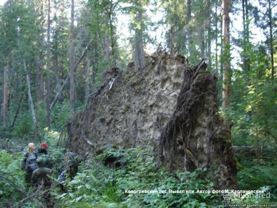 Кологривский лес. Вывал ели. Автор фото М. Карпачевский