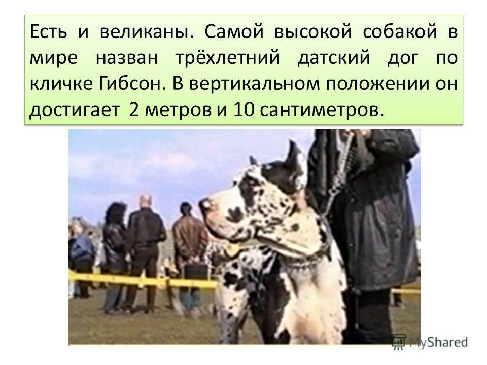 Есть и великаны. Самой высокой собакой в мире назван трёхлетний датский дог по кличке Гибсон. В вертикальном положении он достигает 2 метров и 10 сантиметров.