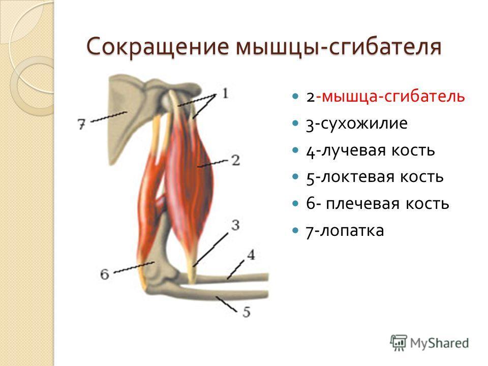 Сокращение мышцы - сгибателя Сокращение мышцы - сгибателя 2- мышца - сгибатель 3- сухожилие 4- лучевая кость 5- локтевая кость 6- плечевая кость 7- лопатка