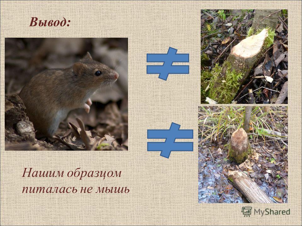 Вывод: Нашим образцом питалась не мышь
