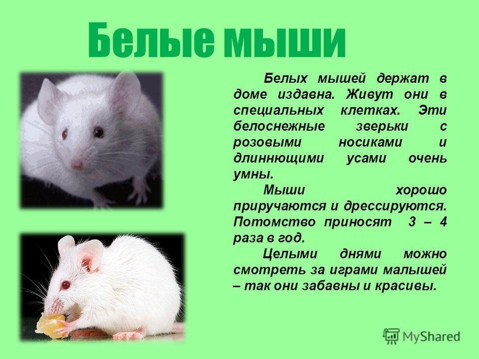 Белых мышей держат в доме издавна. Живут они в специальных клетках. Эти белоснежные зверьки с розовыми носиками и длиннющими усами очень умны. Мыши хорошо приручаются и дрессируются. Потомство приносят 3 – 4 раза в год. Целыми днями можно смотреть за