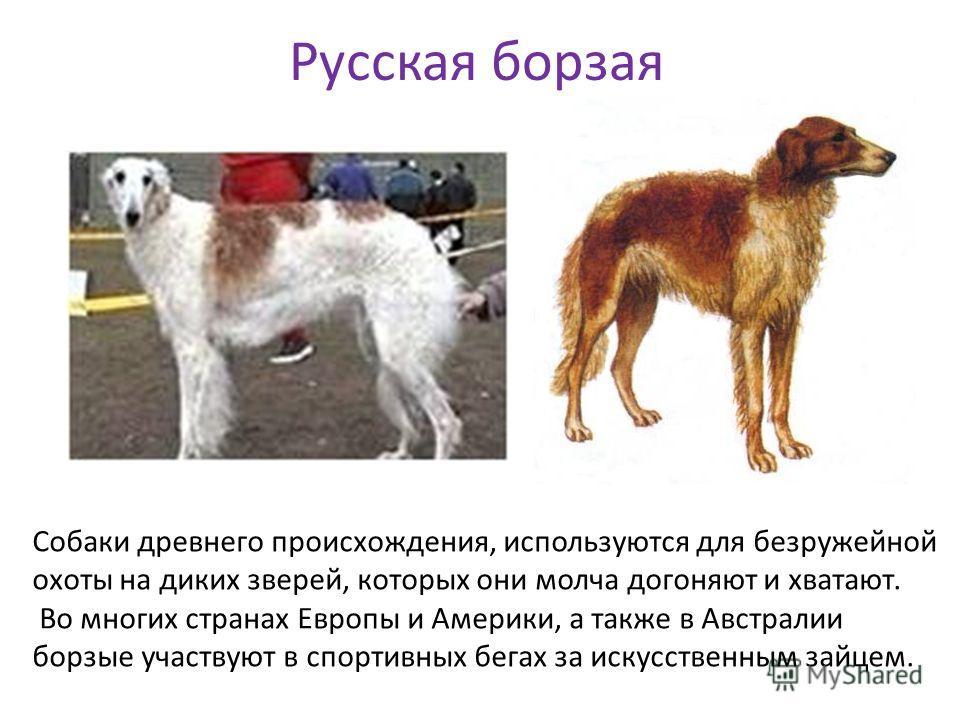 Русская борзая Собаки древнего происхождения, используются для безружейной охоты на диких зверей, которых они молча догоняют и хватают. Во многих странах Европы и Америки, а также в Австралии борзые участвуют в спортивных бегах за искусственным зайце