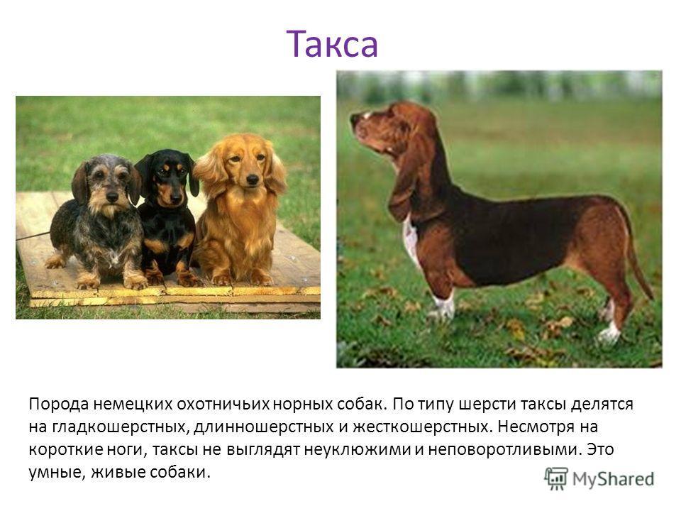 Такса Порода немецких охотничьих норных собак. По типу шерсти таксы делятся на гладкошерстных, длинношерстных и жесткошерстных. Несмотря на короткие ноги, таксы не выглядят неуклюжими и неповоротливыми. Это умные, живые собаки.