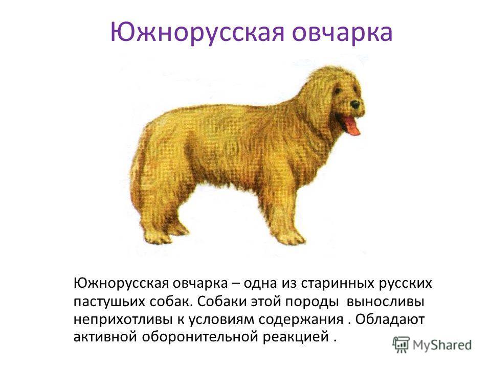 Южнорусская овчарка Южнорусская овчарка – одна из старинных русских пастушьих собак. Собаки этой породы выносливы неприхотливы к условиям содержания. Обладают активной оборонительной реакцией.