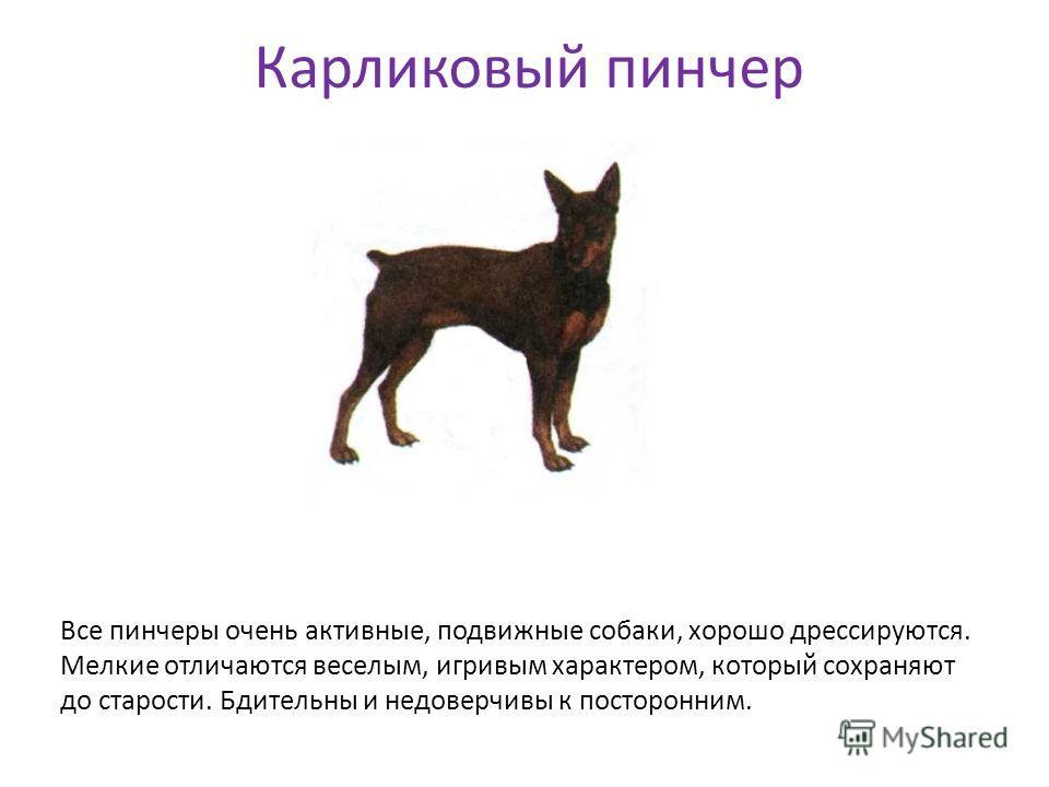Карликовый пинчер Все пинчеры очень активные, подвижные собаки, хорошо дрессируются. Мелкие отличаются веселым, игривым характером, который сохраняют до старости. Бдительны и недоверчивы к посторонним.