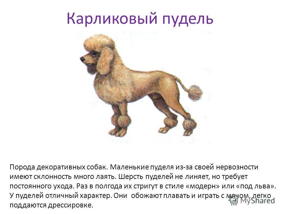 Карликовый пудель Порода декоративных собак. Маленькие пуделя из-за своей нервозности имеют склонность много лаять. Шерсть пуделей не линяет, но требует постоянного ухода. Раз в полгода их стригут в стиле «модерн» или «под льва». У пуделей отличный х