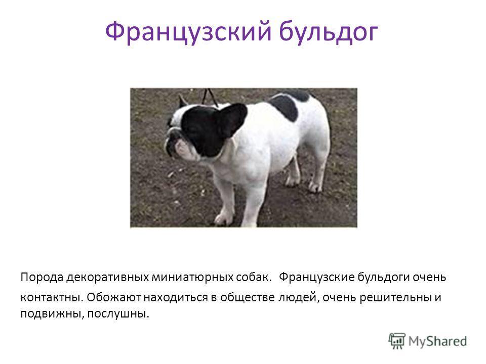 Французский бульдог Порода декоративных миниатюрных собак. Французские бульдоги очень контактны. Обожают находиться в обществе людей, очень решительны и подвижны, послушны.