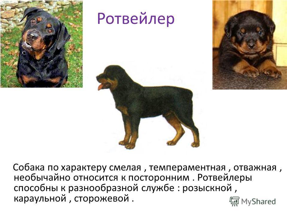 Ротвейлер Собака по характеру смелая, темпераментная, отважная, необычайно относится к посторонним. Ротвейлеры способны к разнообразной службе : розыскной, караульной, сторожевой.