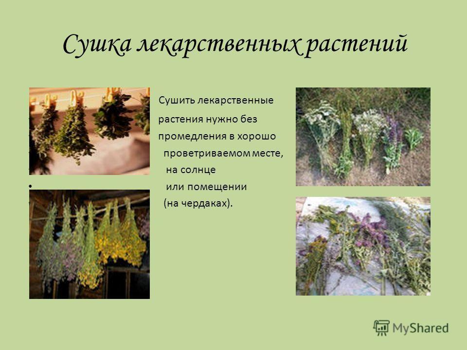 Правила сбора лекарственных растений Внимание! Сбор лекарственных растений производится только в сухую солнечную погоду с помощью ножниц или серпа, корни растений –выкапываются!