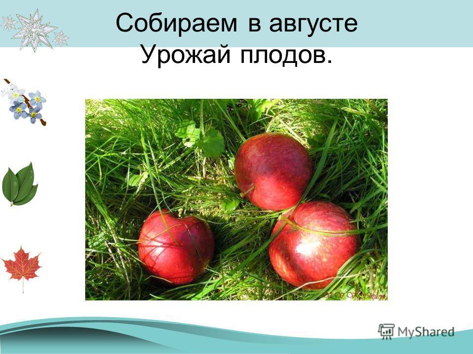 Собираем в августе Урожай плодов.