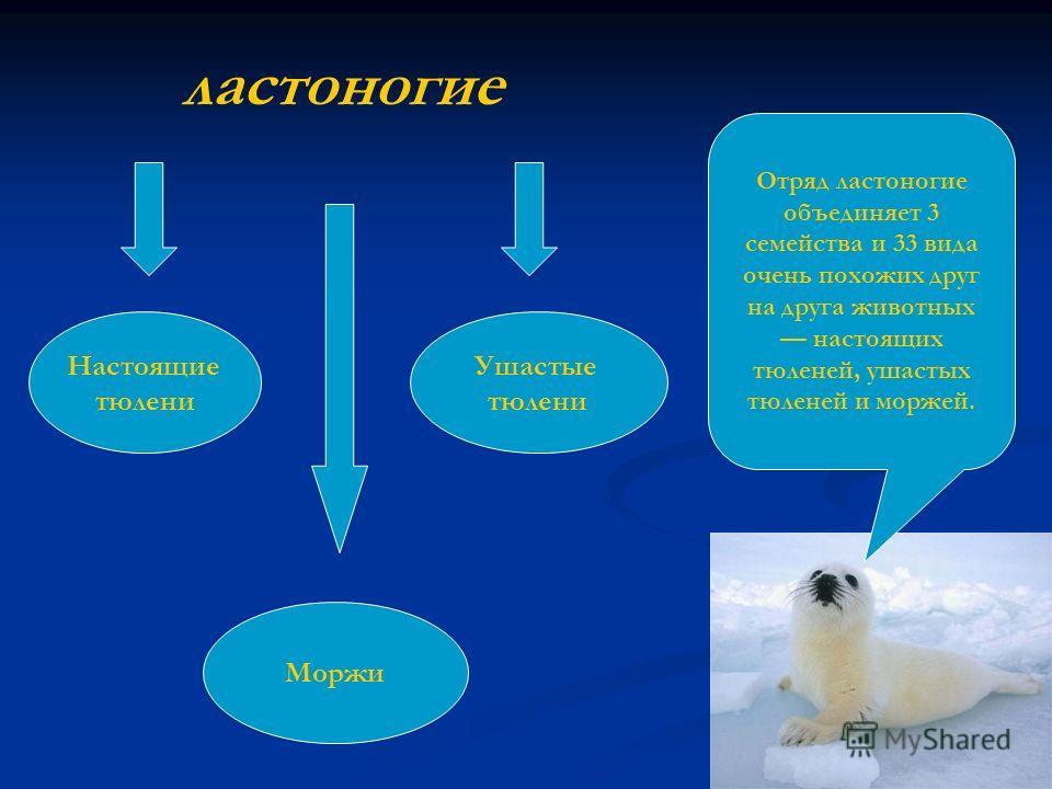Отряд ластоногие объединяет 3 семейства и 33 вида очень похожих друг на друга животных настоящих тюленей, ушастых тюленей и моржей. ластоногие Настоящие тюлени Ушастые тюлени Моржи