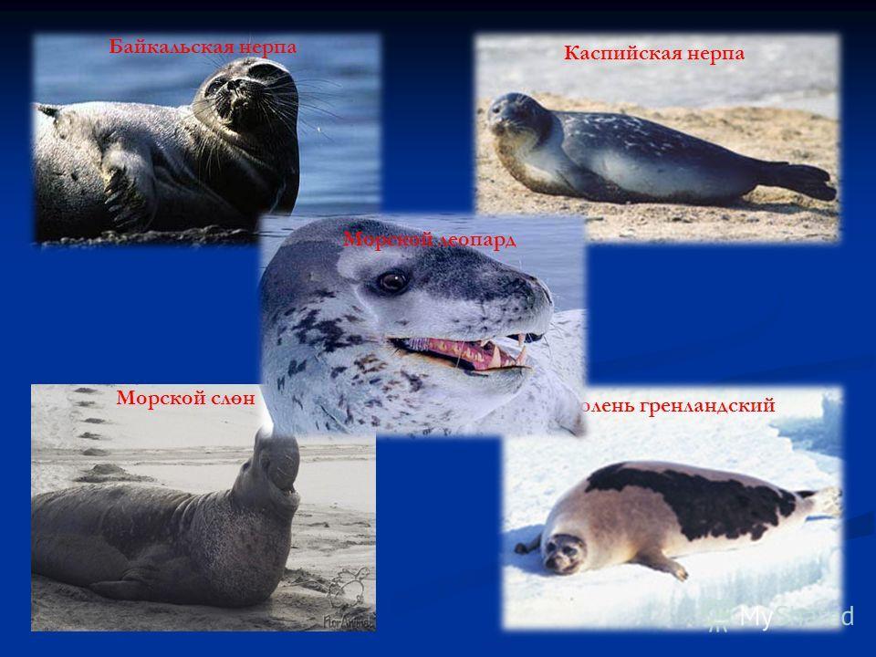 Байкальская нерпа Каспийская нерпа Морской слон Тюлень гренландский Морской леопард