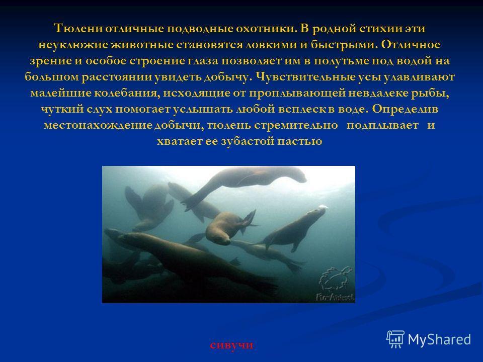 Тюлени отличные подводные охотники. В родной стихии эти неуклюжие животные становятся ловкими и быстрыми. Отличное зрение и особое строение глаза позволяет им в полутьме под водой на большом расстоянии увидеть добычу. Чувствительные усы улавливают ма