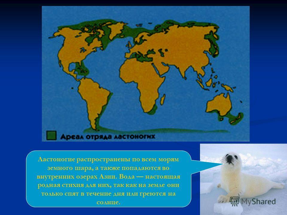 Ластоногие распространены по всем морям земного шара, а также попадаются во внутренних озерах Азии. Вода настоящая родная стихия для них, так как на земле они только спят в течение дня или греются на солнце.