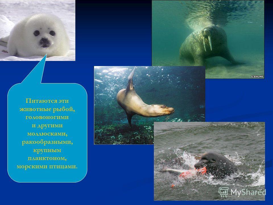 Питаются эти животные рыбой, головоногими и другими моллюсками, ракообразными, крупным планктоном, морскими птицами.