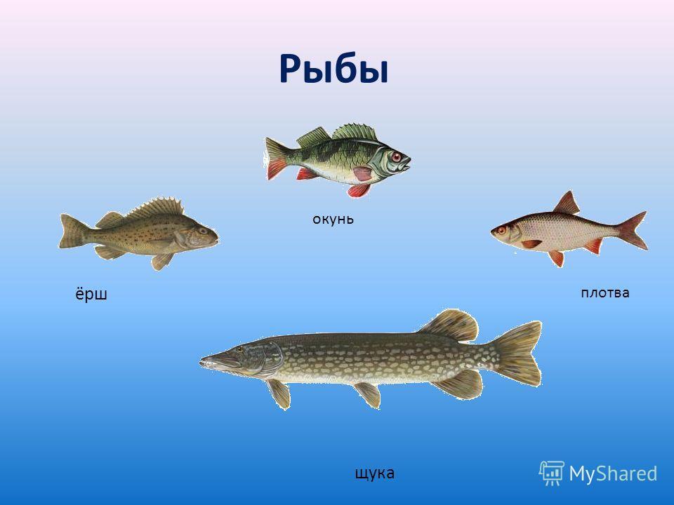 ёрш окунь плотва щука Рыбы