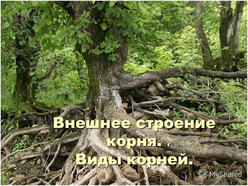 Внешнее строение корня. Виды корней.