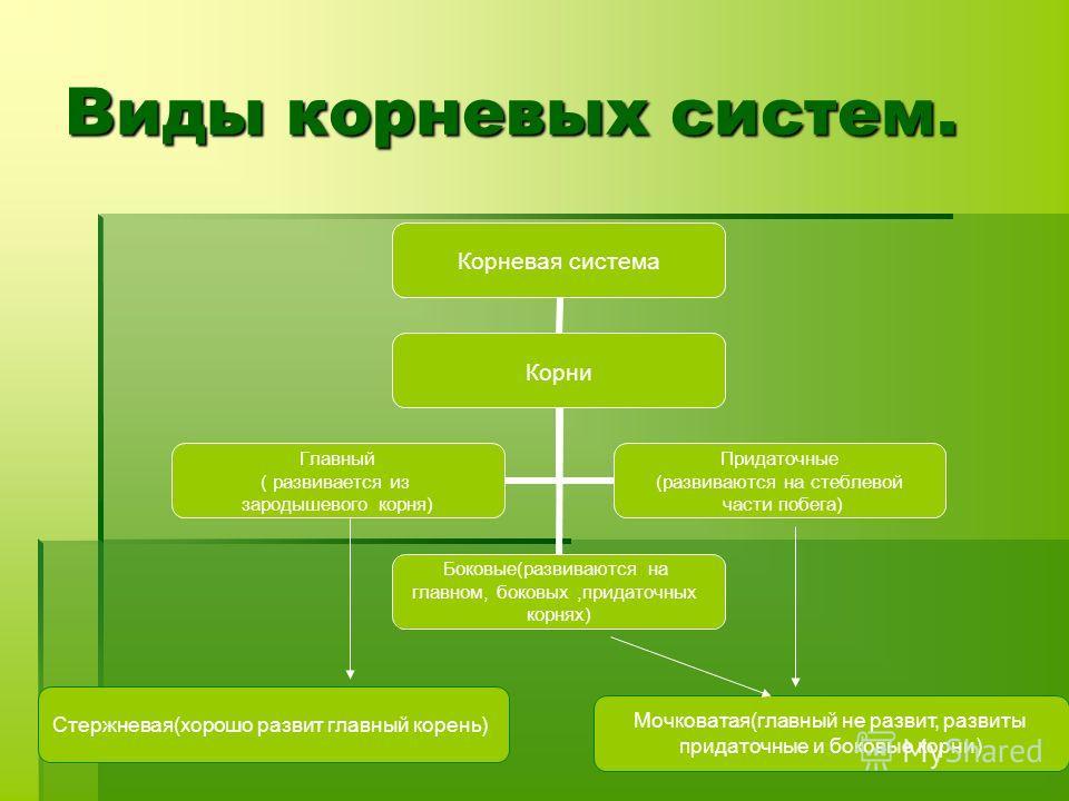 Виды корневых систем. Корневая система Корни Боковые(развиваются на главном, боковых,придаточных корнях) Главный ( развивается из зародышевого корня) Придаточные (развиваются на стеблевой части побега) Стержневая(хорошо развит главный корень) Мочкова