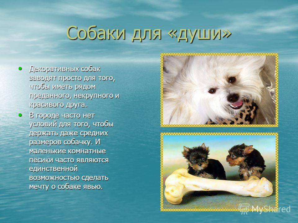 Собаки для «души» Декоративных собак заводят просто для того, чтобы иметь рядом преданного, некрупного и красивого друга. Декоративных собак заводят просто для того, чтобы иметь рядом преданного, некрупного и красивого друга. В городе часто нет услов