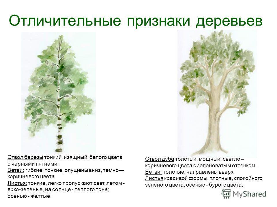 Отличительные признаки деревьев Ствол березы тонкий, изящный, белого цвета с черными пятнами. Ветви: гибкие, тонкие, опущены вниз, темно коричневого цвета Листья: тонкие, легко пропускают свет, летом - ярко-зеленые, на солнце - теплого тона; осенью -