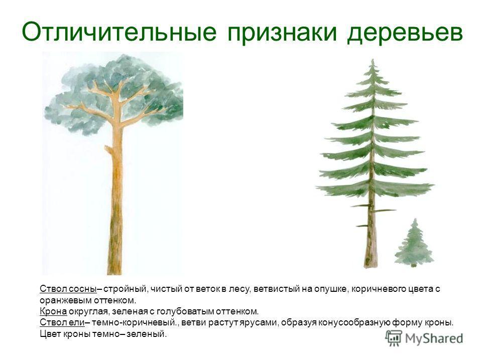Отличительные признаки деревьев Ствол сосны– стройный, чистый от веток в лесу, ветвистый на опушке, коричневого цвета с оранжевым оттенком. Крона округлая, зеленая с голубоватым оттенком. Ствол ели– темно-коричневый., ветви растут ярусами, образуя ко