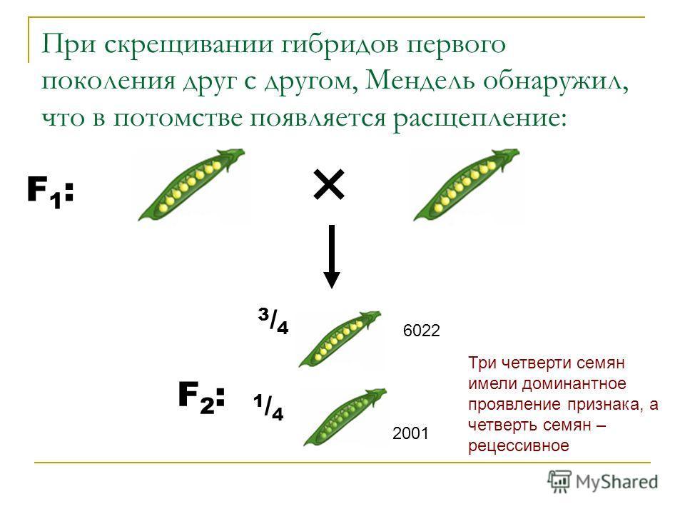 При скрещивании гибридов первого поколения друг с другом, Мендель обнаружил, что в потомстве появляется расщепление: F1:F1: 3/43/4 6022 F2:F2: 1/41/4 2001 Три четверти семян имели доминантное проявление признака, а четверть семян – рецессивное