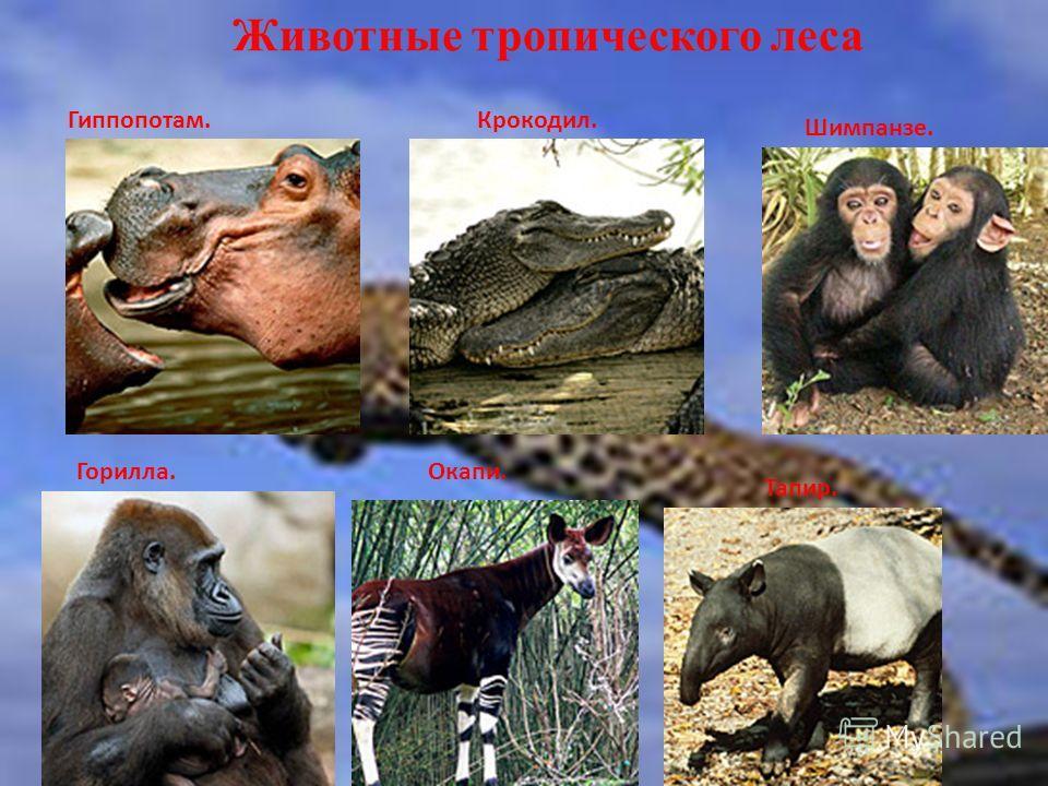 Животные тропического леса Гиппопотам.Крокодил. Шимпанзе. Горилла.Окапи. Тапир.