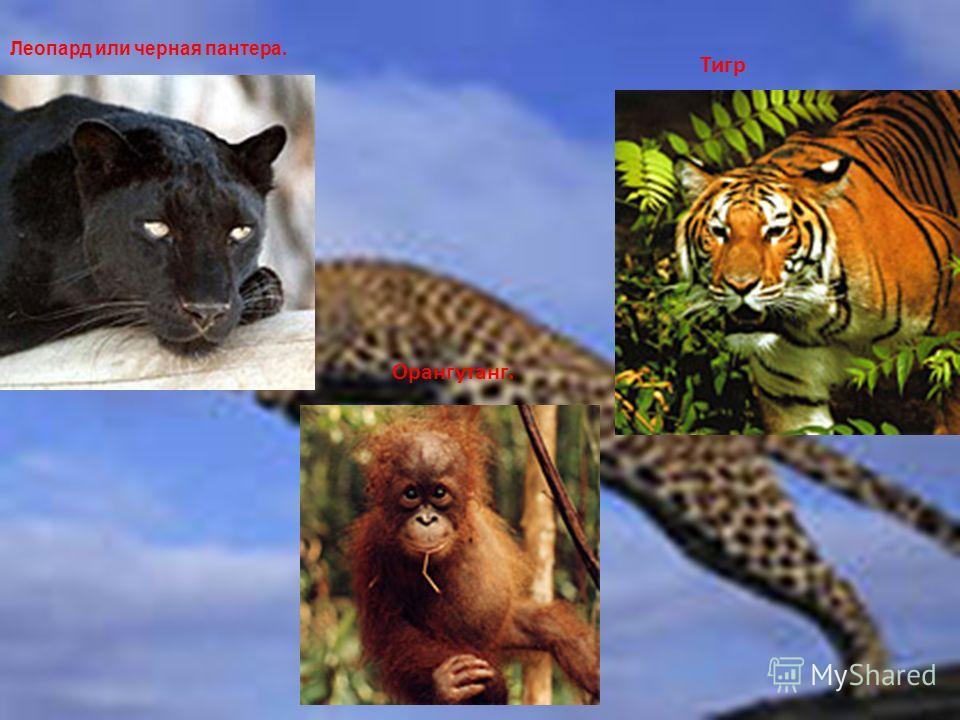 Леопард или черная пантера. Тигр Орангутанг.
