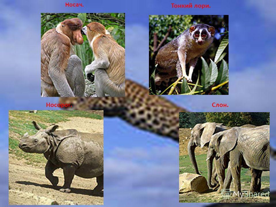Носач. Тонкий лори. Носорог.Слон.