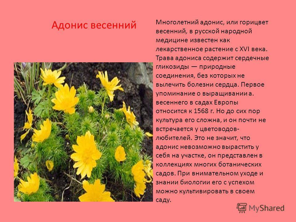 Многолетний адонис, или горицвет весенний, в русской народной медицине известен как лекарственное растение с XVI века. Трава адониса содержит сердечные гликозиды природные соединения, без которых не вылечить болезни сердца. Первое упоминание о выращи
