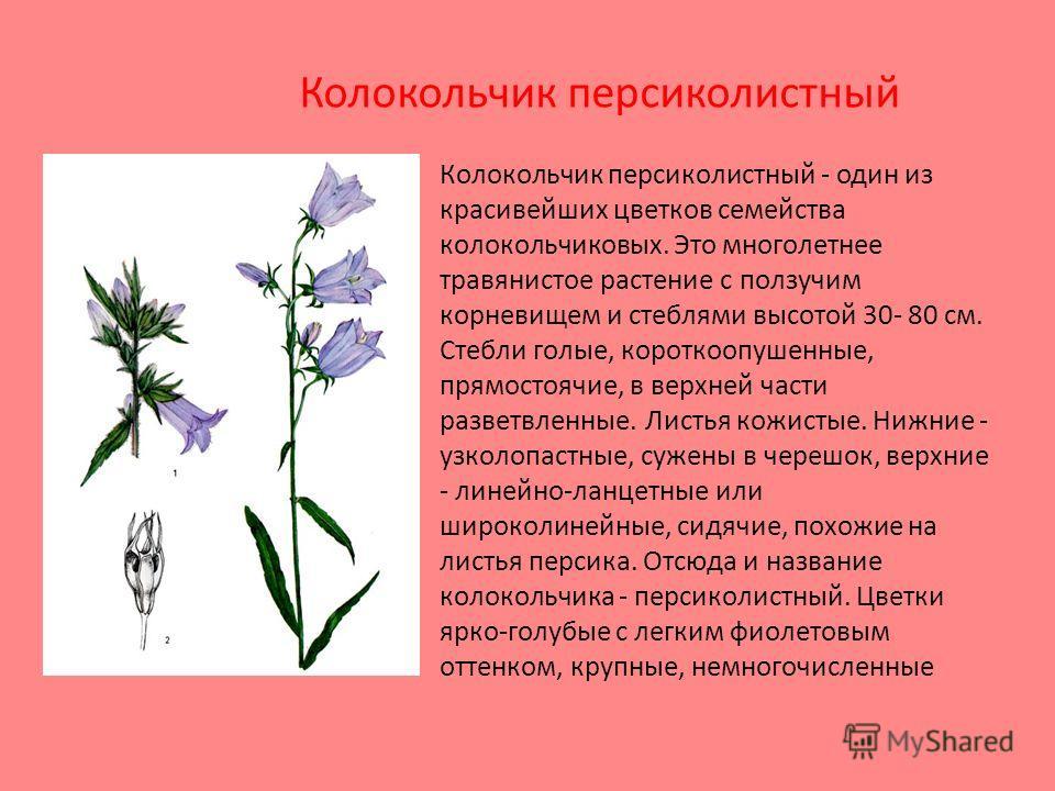 Колокольчик персиколистный - один из красивейших цветков семейства колокольчиковых. Это многолетнее травянистое растение с ползучим корневищем и стеблями высотой 30- 80 см. Стебли голые, короткоопушенные, прямостоячие, в верхней части разветвленные.