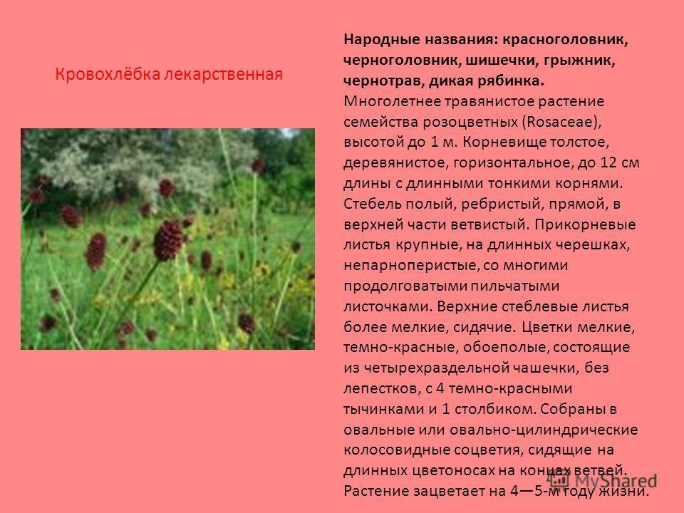 Народные названия: красноголовник, черноголовник, шишечки, грыжник, чернотрав, дикая рябинка. Многолетнее травянистое растение семейства розоцветных (Rosaceae), высотой до 1 м. Корневище толстое, деревянистое, горизонтальное, до 12 см длины с длинным