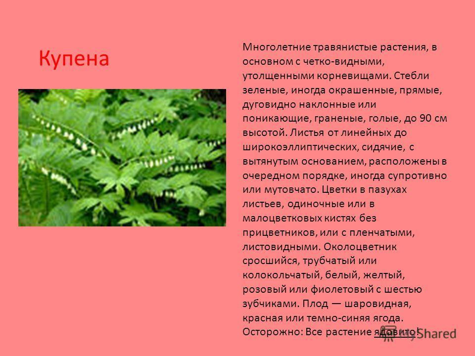 Многолетние травянистые растения, в основном с четко-видными, утолщенными корневищами. Стебли зеленые, иногда окрашенные, прямые, дуговидно наклонные или поникающие, граненые, голые, до 90 см высотой. Листья от линейных до широкоэллиптических, сидячи