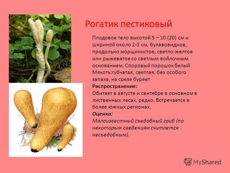 Плодовое тело высотой 5 – 10 (20) см и шириной около 2-3 см, булавовидное, продольно морщинистое, светло-желтое или рыжеватое со светлым войлочным основанием. Споровый порошок белый Мякоть:губчатая, светлая, без особого запаха, на срезе буреет Распро