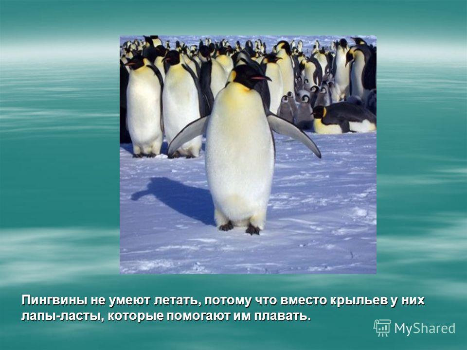 Пингвины не умеют летать, потому что вместо крыльев у них лапы-ласты, которые помогают им плавать.