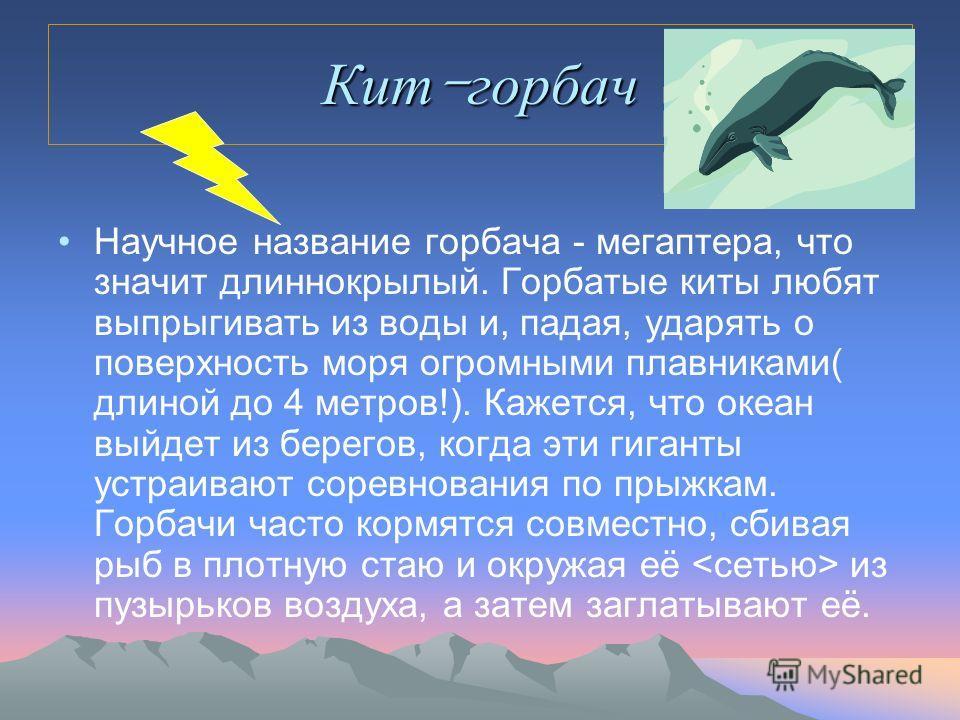 Кит - горбач Научное название горбача - мегаптера, что значит длиннокрылый. Горбатые киты любят выпрыгивать из воды и, падая, ударять о поверхность моря огромными плавниками( длиной до 4 метров!). Кажется, что океан выйдет из берегов, когда эти гиган